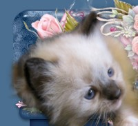 Ragdoll kittens for sale | Ragdoll Breeder Texas | Jamilas Ragdolls